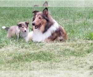 Collie Dog Breeder near IONIA, MI, USA