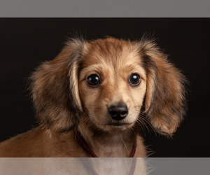 Main photo of Dachshund Dog Breeder near CROWLEY, TX, USA