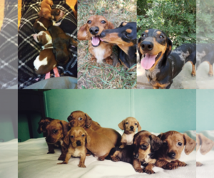 Main photo of Dachshund Dog Breeder near MONTGOMERY, TX, USA