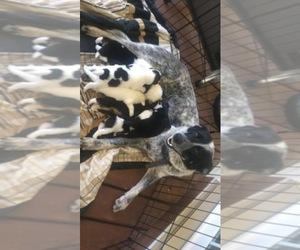 Main photo of Australian Cattle Dog Dog Breeder near BRODNAX, VA, USA