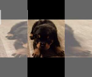 Main photo of Rottweiler Dog Breeder near KNIGHTSVILLE, SC, USA