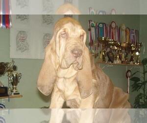 Bloodhound Dog Breeder near WALDRON, AR, USA