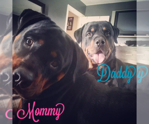 Main photo of Rottweiler Dog Breeder near PORT SAINT LUCIE, FL, USA