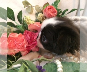 Main photo of Japanese Chin Dog Breeder near DAVISVILLE, MO, USA