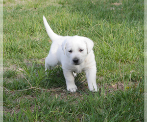 Main photo of Labrador Retriever Dog Breeder near VALLEY CENTER, KS, USA
