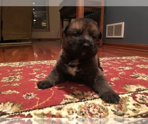 German Shepherd Dog Breeder in NORTH ROYALTON, OH