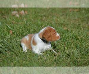 Brittany Dog Breeder in LE ROY,  USA