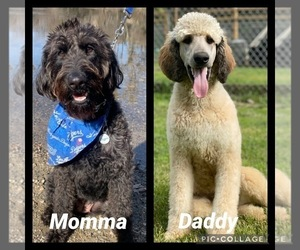 Labradoodle Dog Breeder in HILMAR,  USA