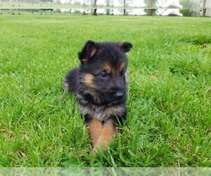 German Shepherd Dog Breeder in ROGERSVILLE, MO