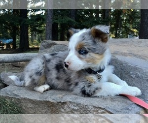 Main photo of Border-Aussie Dog Breeder near DUFUR, OR, USA