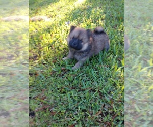Main photo of Chow Chow Dog Breeder near LAKELAND, FL, USA