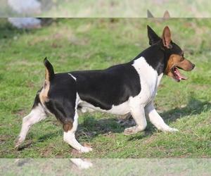 Teddy Roosevelt Terrier Dog Breeder near , , USA