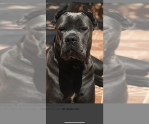 Cane Corso Dog Breeder in MIAMI,  USA