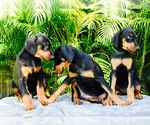 Doberman Pinscher Breeder in MIAMI, FL, USA