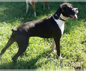 Main photo of Boxer Dog Breeder near PALMETTO, FL, USA
