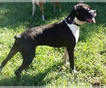 Boxer Breeder in PALMETTO, FL, USA