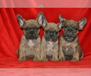 French Bulldog Dog Breeder in KLEIN,  USA