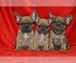 French Bulldog Breeder in KLEIN, TX, USA