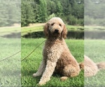 Goldendoodle Breeder in FARMERVILLE, LA, USA