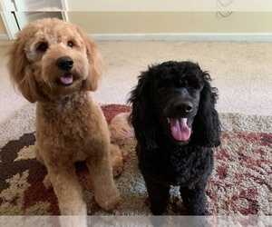 Main photo of Goldendoodle Dog Breeder near SAINT AUGUSTINE, FL, USA
