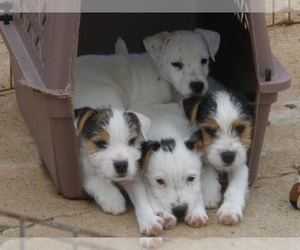 Jack Russell Terrier Dog Breeder in CLOVER,  USA