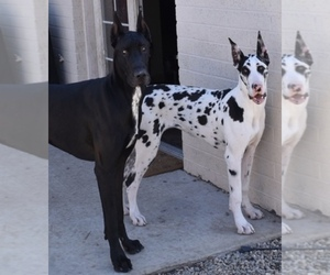 Great Dane Dog Breeder in HOLLYWOOD,  USA