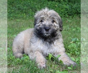 Bouvier Des Flandres Dog Breeder near PITTSBURGH, PA, USA