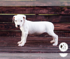 Main photo of Dogo Argentino Dog Breeder near MEMPHIS, TN, USA