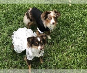 Main photo of Miniature Australian Shepherd Dog Breeder near COLLEGE STA, TX, USA