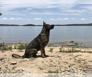 German Shepherd Dog Dog Breeder near MADISON, TN, USA