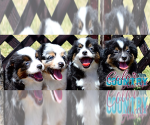 Miniature Australian Shepherd Dog Breeder in CEDAR CITY,  USA