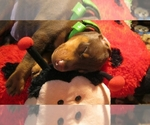 Doberman Pinscher Breeder in Austin, TX