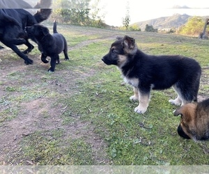 German Shepherd Dog Dog Breeder in SPRING VALLEY,  USA
