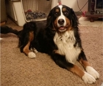 Bernese Mountain Dog Breeder in RADCLIFFE, IA, USA