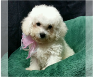 Main photo of Bichon Frise Dog Breeder near BUFFALO, MO, USA