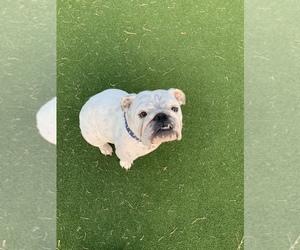 Main photo of English Bulldog Dog Breeder near LA VERNIA, TX, USA