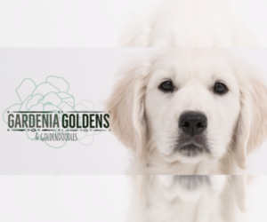Goldendoodle Dog Breeder in PENSACOLA,  USA