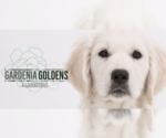 Goldendoodle Breeder in PENSACOLA, FL, USA
