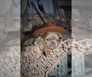Chihuahua Dog Breeder near HAMPTON, VA, USA