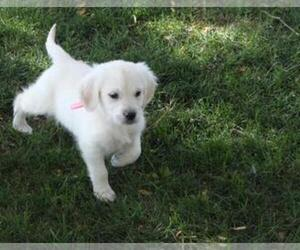 Golden Retriever Breeder in FORT MORGAN, CO, USA