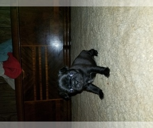 Main photo of Pug Dog Breeder near BRIDGEPORT, IL, USA