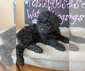 Portuguese Water Dog Dog Breeder in CALHOUN,  USA