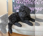 Portuguese Water Dog Breeder in CALHOUN, GA, USA