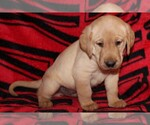 Labrador Retriever Breeder in SPRINGDALE, AR, USA
