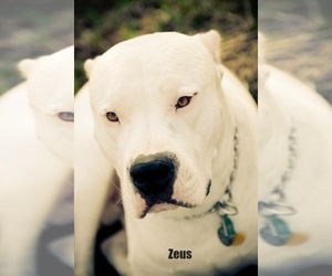 Dogo Argentino Breeder in MARION, IA