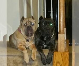 Main photo of Cane Corso Dog Breeder near GEORGETOWN, DE, USA