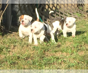 American Bulldog Breeder in BROOKSVILLE, FL