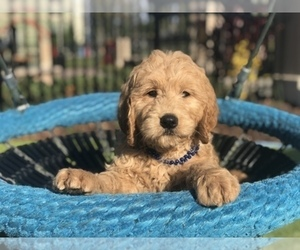 Main photo of Goldendoodle Dog Breeder near FROSTPROOF, FL, USA