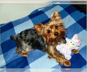 Main photo of Yorkshire Terrier Dog Breeder near COPALIS BEACH, WA, USA