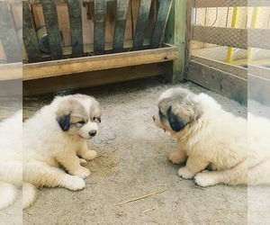 Great Pyrenees Dog Breeder in GIBSONIA,  USA
